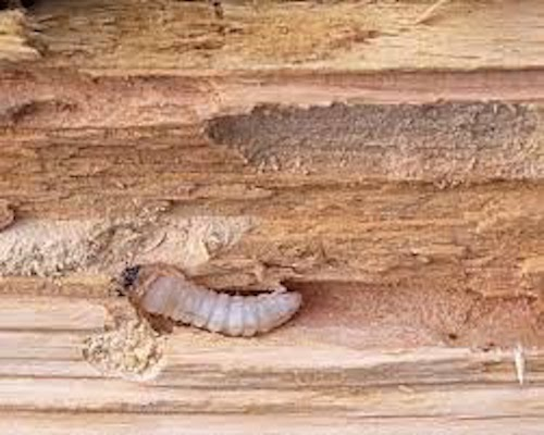 Woodworm Treatment Taunton
